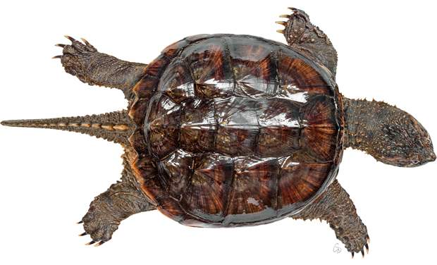 Limited Edition Print of a Common Snapping Turtle Portrait